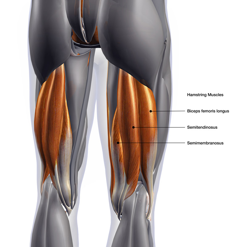 An anatomical diagram of the hamstrings muscles